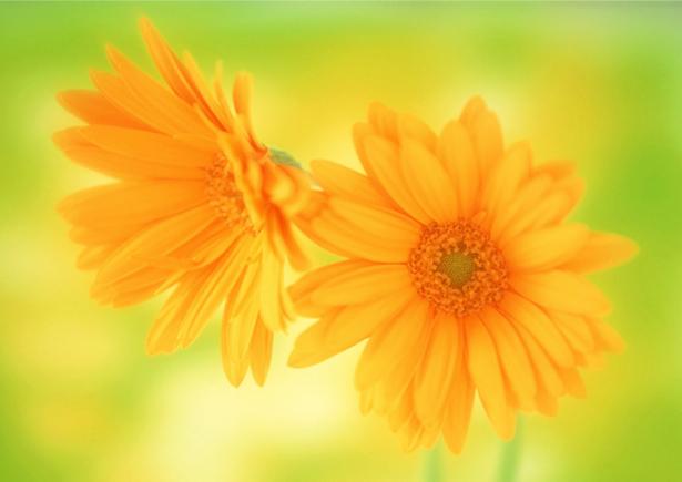 Желтые герберы фотообои (flowers-0000172)