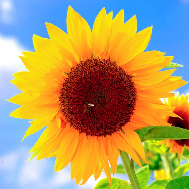 Красивые цветы фото обои Подсолнух и пчела (flowers-0000229)