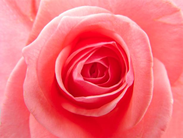 Кремовая роза фотообои цветов (flowers-0000284)