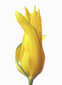 Фотообои на стену цветок - Желтый тюльпан (flowers-0000363)