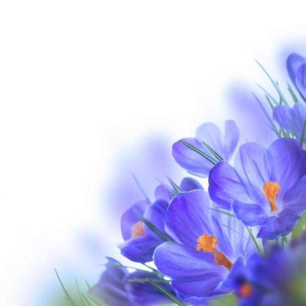 Обои на стену крокусы (flowers-0000640)