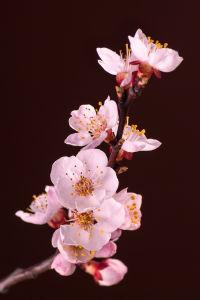 Фотообои цветы сакуры (flowers-769)