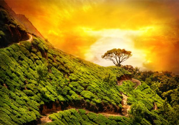 Фотообои чайное поле на горизонте (nature-0000639)