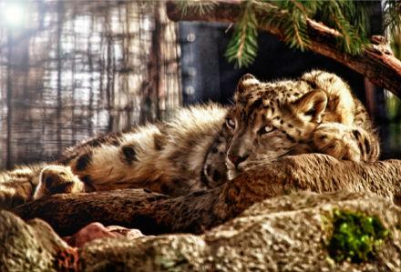 Фотообои тигр на отдыхе (animals-0000019)