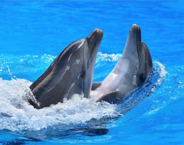 Фотообои дельфины в двоем (animals-0000155)
