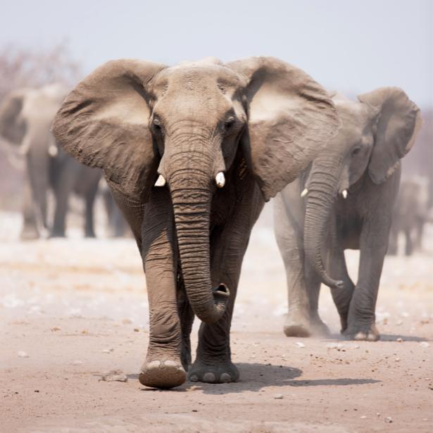 Фотообои слоны в походе (animals-0000227)