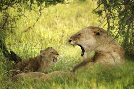 Фотообои Львица и детеныши (animals-0000465)