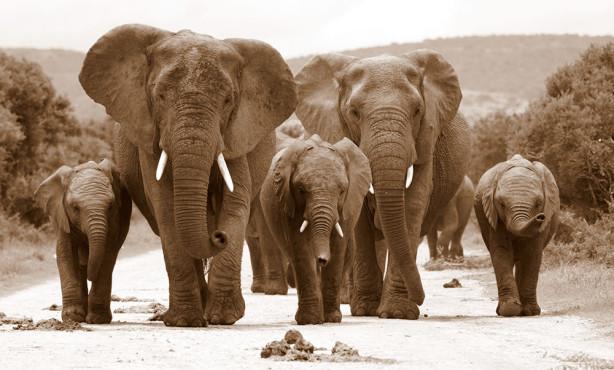 Фотообои Слонов на дороге (animals-553)