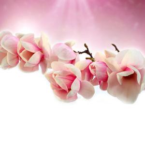 Фотообои фото Ветка магнолии (flowers-0000002)