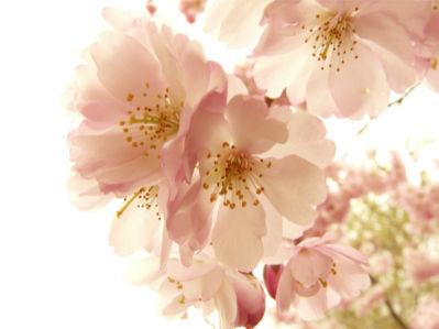 Цветущая ветка фотообои цветов на стену (flowers-0000011)