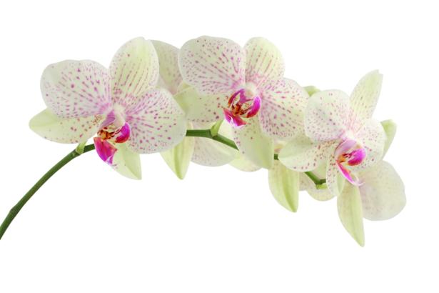 Белая орхидея фотообои цветов на стену (flowers-0000054)