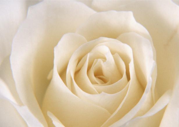 Белая роза фотообои на стену цветы (flowers-0000095)