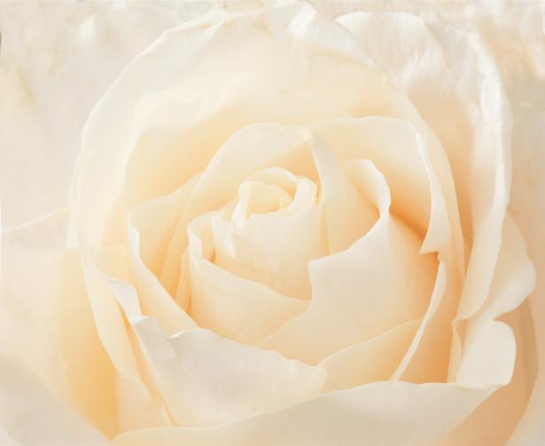 Белая роза фотообои на стену цветы (flowers-0000096)