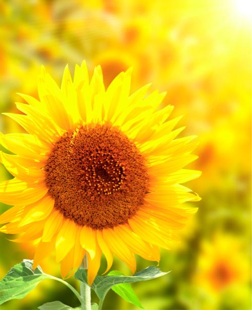 Подсолнух Красивые цветы фото обои (flowers-0000232)