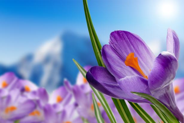 Фото обои цветок фиолетовые крокусы (flowers-0000409)