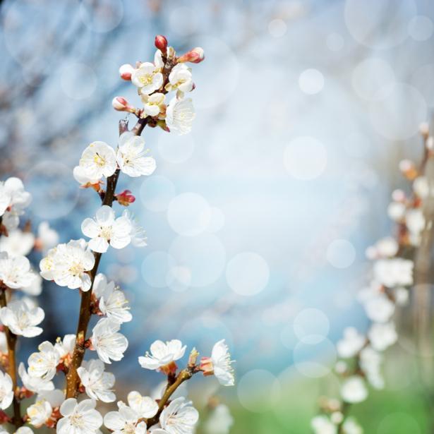 Обои фото ветка цветущего дерева (flowers-0000420)