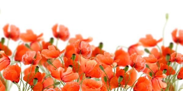 Фото обои для стен поле маков (flowers-0000467)