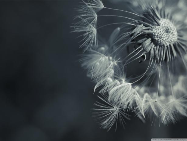 Фото обои на стену Одуванчик (flowers-0000478)