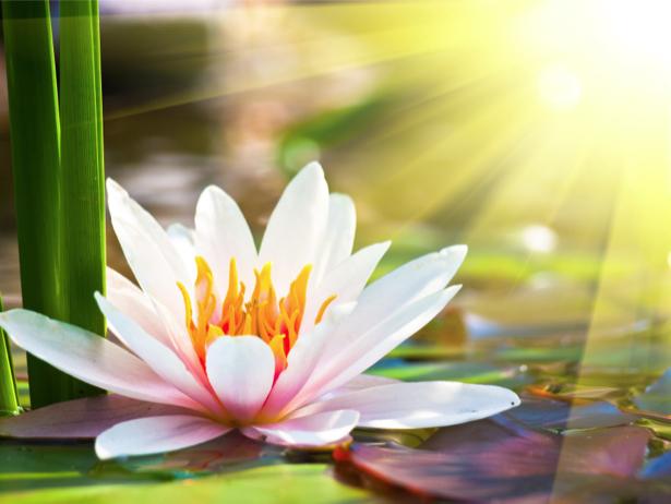 Фото обои для стен лилии на воде (flowers-0000613)