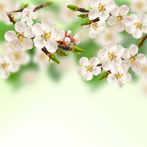Фото обои цветы цветущая ветка (flowers-0000628)