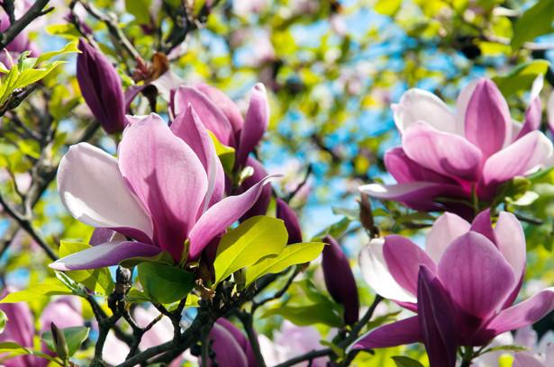 Фотообои Цветущая магнолия (flowers-791)