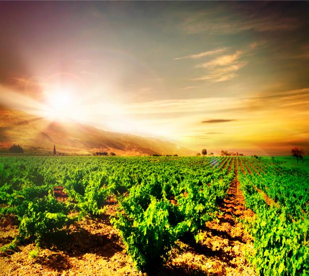 Фотообои виноградник на закате (nature-00293)
