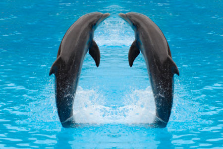 Фотообои дельфины парочка (animals-0000072)