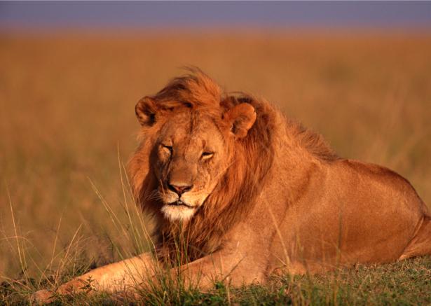 Фотообои на поле лев, львица (animals-0000081)