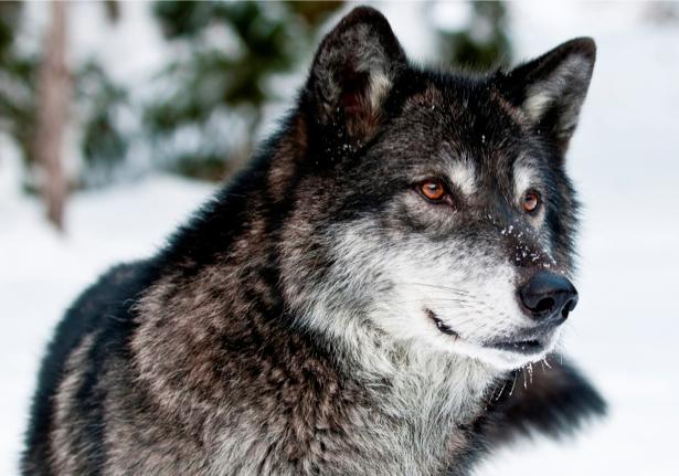 Фотообои волк зимой (animals-0000240)