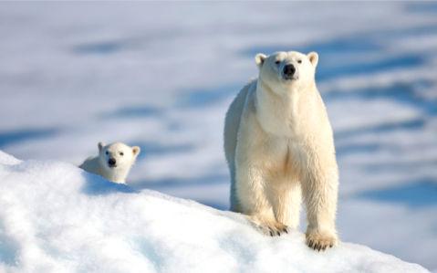 Фотообои белый медведь снег (animals-0000262)