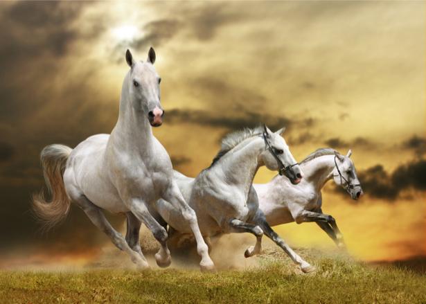 Фотообои белые лошади на закате (animals-0000286)