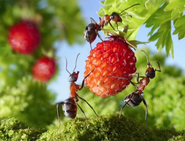 Фотообои муравьи собирают урожай (animals-0000326)