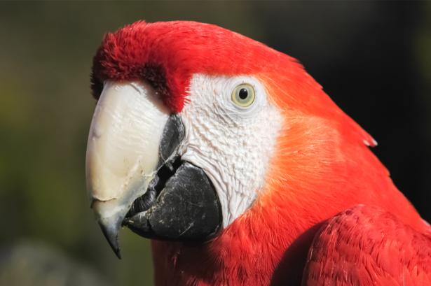 Фотообои красный ара портрет (animals-0000478)
