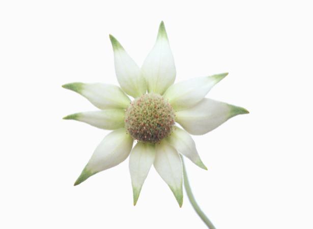 Фотообои на стену цветок - Белый цветок (flowers-0000365)