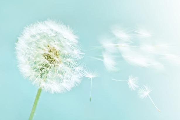 Фото обои на стену Одуванчик (flowers-0000477)
