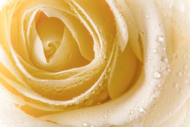 Цветок фото обои кремовая роза (flowers-0000656)