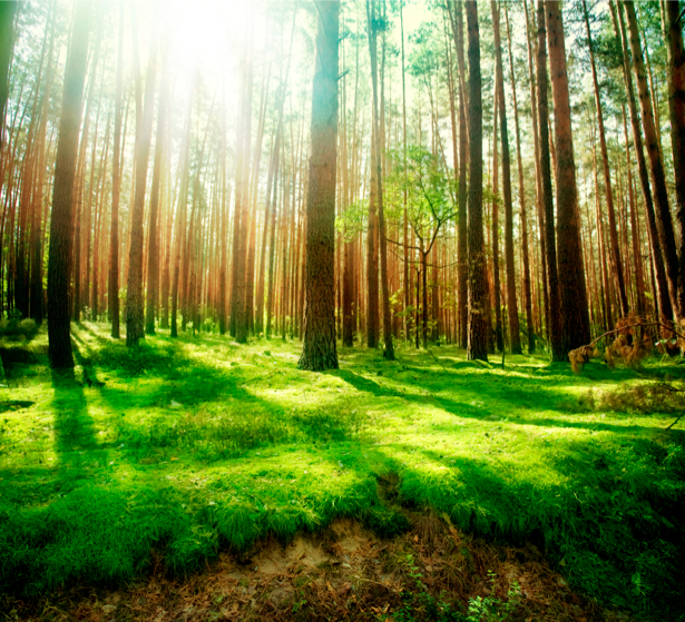 Фотообои с природой лес солнце (nature-00005)