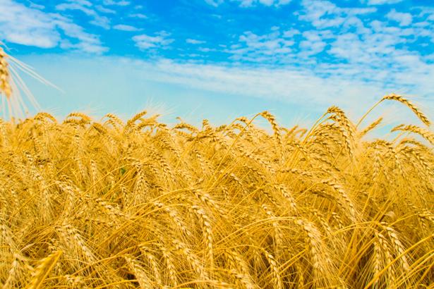 Фотообои пшеница поле Украина (nature-00438)