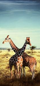 Фотообои в зал жирафы сафари (animals-0000001)