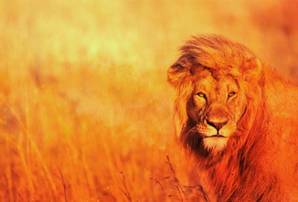 Фотообои лев дикая природа (animals-0000076)