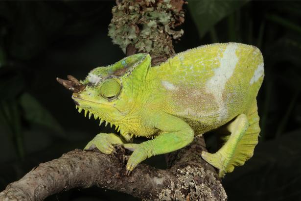 Фотообои зеленый хамелеон (animals-0000294)