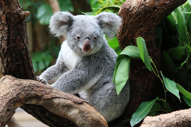 Фотообои Мишка коала на дереве (animals-0000420)