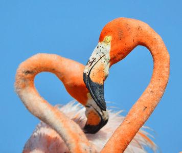 Фотообои Сердце Фламинго (animals-563)