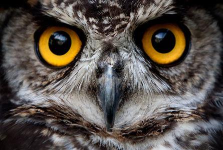Фотообои Глаза совы (animals-567)