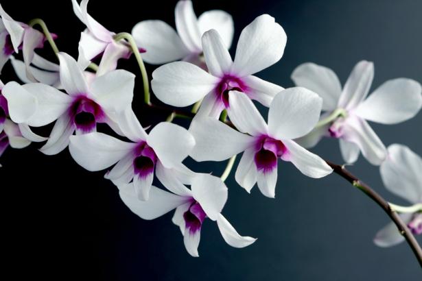 Красивые цветы фото обои Белая орхидея (flowers-0000060)