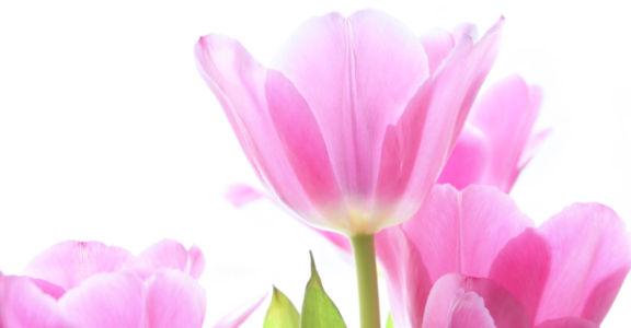 Обои фото цветы розовые тюльпаны (flowers-0000444)
