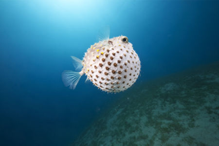 Фотообои для ванны рыба фугу (underwater-world-00201)