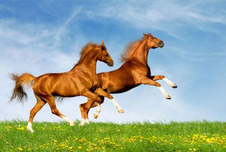 Фотообои  лошади на поле в аллюре (animals-0000036)
