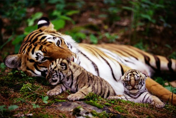Фотообои тигр и тигрята в природе (animals-0000055)