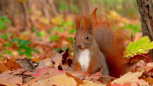 Фотообои белка осень (animals-0000084)